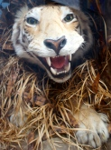 Tiger full front