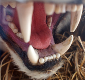 Tiger jaws close-up