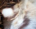 Tiger ear