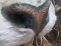 Tiger nose close-up